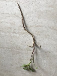 Garlic Mustard plant and root