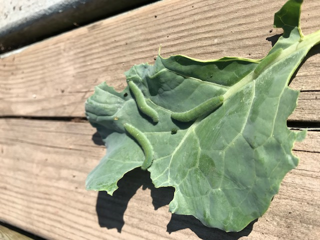 Broccoli leaf with cabbage worms